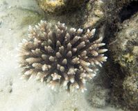 Nahe hohe Ansicht des Acropora in Togian-Inseln Stockfotos