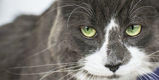 Nahe hohe Ansicht des schönen grünen cat& x27; s-Auge, das defiantly Kamera betrachtet Graue und weiße verärgerte Katze auf weiße lizenzfreies stockbild