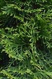Nahe hohe Blätter des Arborvitae vertikal Stockbilder