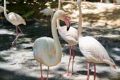 Nahe hohe Flamingo-Gruppe im Zoo lizenzfreie stockfotografie