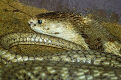 Nahe hohe Kobra auf Sand in Thailand lizenzfreies stockfoto