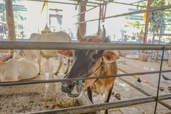 Nahe hohe Kuh in Wat Hua Lamphong Temple stockfoto