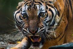 Nahe hohe Porträts von Brüllen Tiger stockfotos