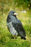Nahe hohe Stellung des Falken im Gras Lizenzfreies Stockfoto