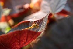 Nahe oben goldene Libelle auf grünem Blattabschluß oben stockfotografie