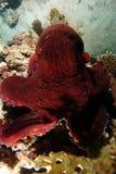 Nahe rote Krake über dem Korallenriff lizenzfreies stockbild