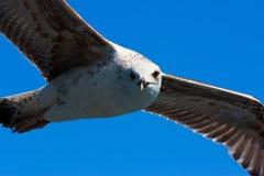 Nahe schauende und fliegende Seemöwe Lizenzfreies Stockbild
