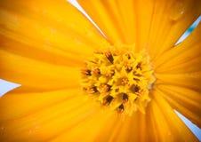 Naher Fokus des Blütenstaubs der Kosmosblume Stockbild