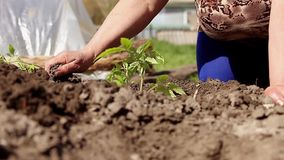 Naher hoher an Hand pflanzender Tomatensämling der Frau in ihrem Garten Kinderhilfswasser stock video