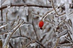 Naher hoher Schuss der solated heller roter Hagebuttenbeere und -Baumaste umfasst mit Eis nach einem Eisregensturm lizenzfreies stockfoto