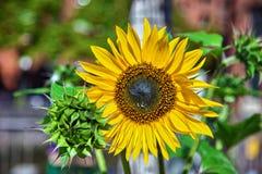 Naher hoher Schuss der Sonnenblume in Hamburg, Deutschland Lizenzfreies Stockfoto