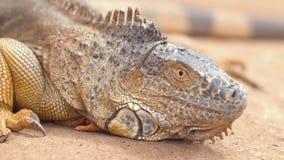 Naher hoher Schuss eines orange Leguans in der desertic Landschaft Film- Schuss stock footage