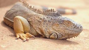Naher hoher Schuss eines orange Leguans in der desertic Landschaft Film- Schuss stock video footage