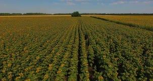 Naher Luftflug über Feld von Sonnenblumen bewegte durch Wind gegen Wald unter grenzenlosen blauen Himmel wellenartig stock video