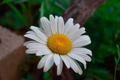 Naher Makroschuß des weißen Ochsenauges Daisy Flower Stockfotografie