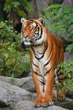 Nahes ehrliches Porträt des indo-chinesischen Tigers stockfotografie