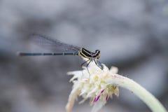 Nahes hohes auf Stiel noch halten der Libelle stockbild