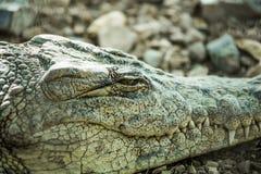 Nahes hohes Auge des Krokodils schließt Lizenzfreies Stockfoto