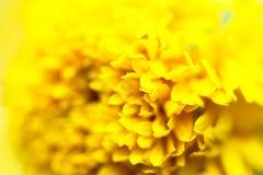 Nahes hohes Blumengelb auf Natur - Makro von Blumenblattbeschaffenheits-Ringelblumenblumen lizenzfreies stockbild
