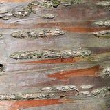 Nahes hohes der Baumrinde Lizenzfreies Stockbild