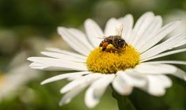 Nahes hohes der Biene lizenzfreies stockfoto