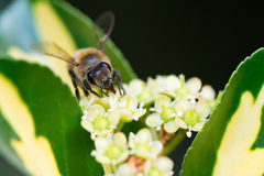 Nahes hohes der Biene Stockfoto
