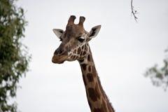 Nahes hohes der Giraffe Stockbild
