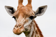 Nahes hohes der Giraffe Stockfotografie