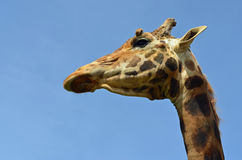 Nahes hohes der Giraffe Lizenzfreie Stockfotografie
