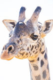 Nahes hohes der Giraffe Lizenzfreie Stockfotos