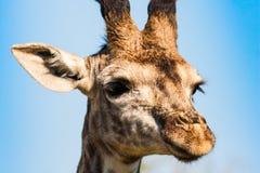 Nahes hohes der Giraffe Lizenzfreies Stockbild