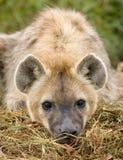 Nahes hohes der Hyäne Stockfoto