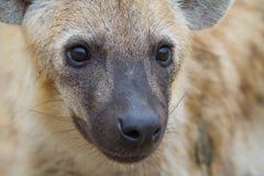 Nahes hohes der Hyäne lizenzfreie stockbilder