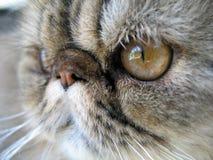 Nahes hohes der Katze Stockfotos