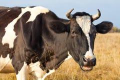 Nahes hohes der Kuh Lizenzfreie Stockbilder