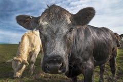 Nahes hohes der Kuh Stockfoto