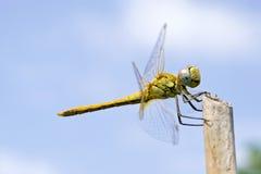 Nahes hohes der Libelle Lizenzfreies Stockfoto
