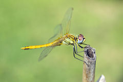 Nahes hohes der Libelle Stockfotografie
