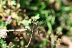 Nahes hohes der Libelle Lizenzfreie Stockbilder