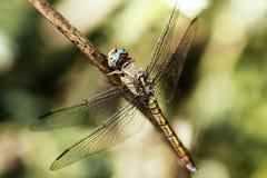 Nahes hohes der Libelle Stockfoto