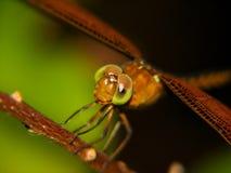 Nahes hohes der Libelle Stockbild