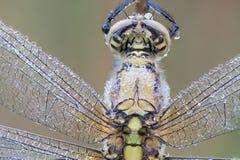 Nahes hohes der Libelle Lizenzfreies Stockbild