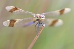 Nahes hohes der Libelle Stockbilder