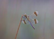 Nahes hohes der Libelle Lizenzfreie Stockfotos