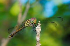 Nahes hohes der Libelle (Libelle) Stockfotos