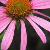 Nahes hohes der purpurroten Ansicht der Kegel-Blume 3/4 Lizenzfreies Stockbild