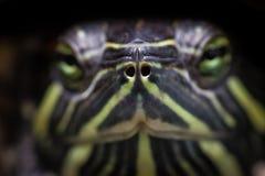 Nahes hohes der Schildkröte Stockbild
