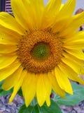Nahes hohes der Sonnenblume lizenzfreie stockfotos