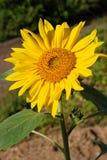 Nahes hohes der Sonnenblume Lizenzfreies Stockfoto