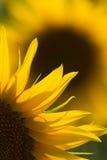 Nahes hohes der Sonnenblume Stockbild